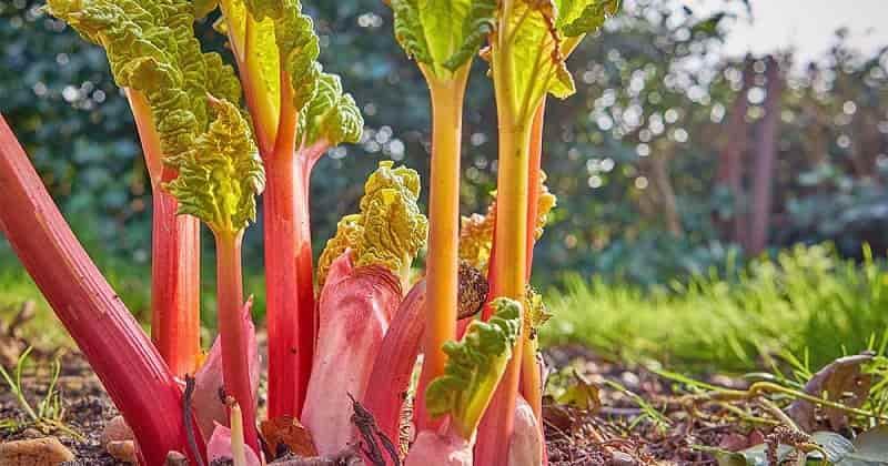 Variety of Rhubarb